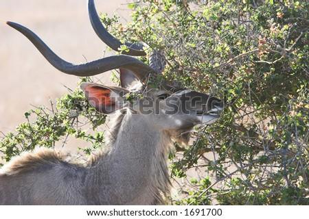 Kudu feeding on a young tree, tragelaphus strepsiceros - stock photo
