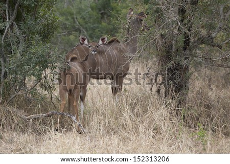 Kudu in the Kruger National Park - stock photo