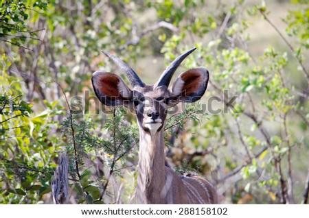 Kudu listening for predators - stock photo