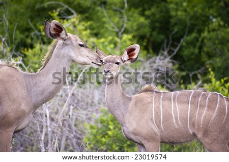 Kudu mother with her cub - stock photo