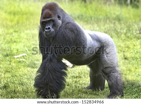 Kumbuka, the Western Lowland Gorilla - stock photo