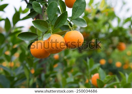 """Kumquat, the symbol of Vietnamese lunar new year. In nearly every household, crucial purchases for Tet include the peach  """"hoa dao"""" and kumquat plants - stock photo"""