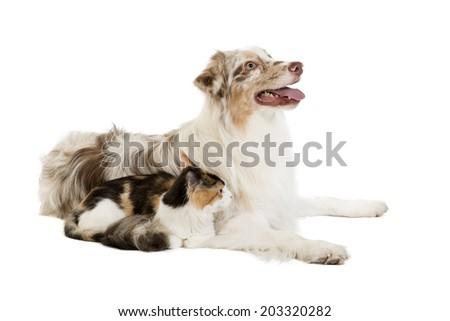 Kuril Bobtail and Australian Shepherd - stock photo