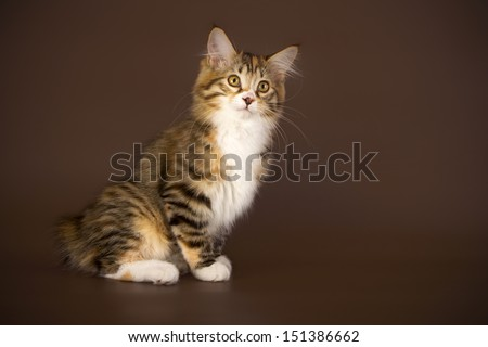 Kuril Bobtail Cat on a brown background