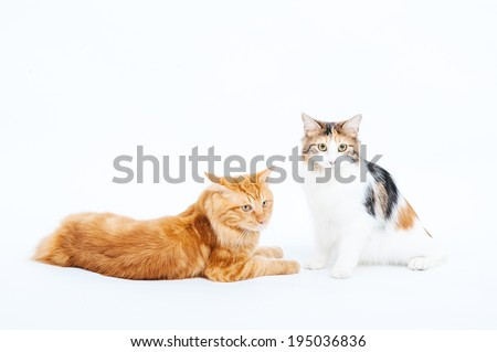 Kuril Bobtail Cat on a white background. Kuril Bobtail Cat on an isolated background. - stock photo