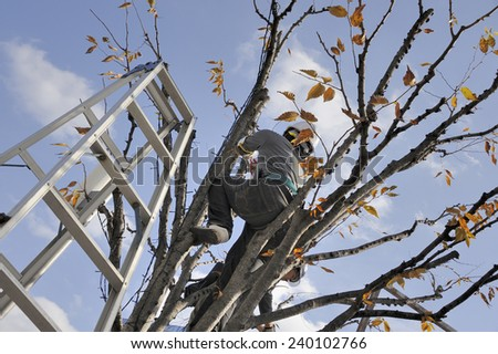 KYOTO, JAPAN-NOVEMBER 10, 2014; Gardener pruning a tree, seen from below.November 10, 2014 Kyoto, Japan  - stock photo