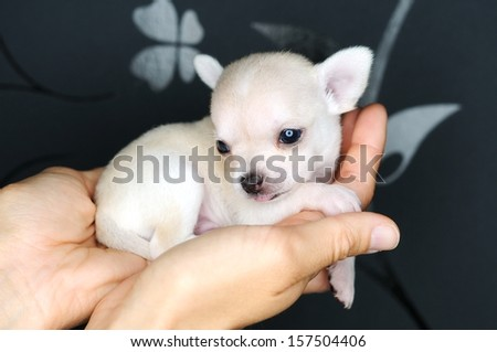 l dog puppy white chihuahua is sitting in hand