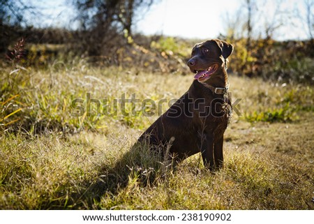 Lab looking for birds - stock photo