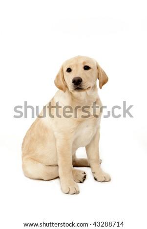 Lab Pup - stock photo