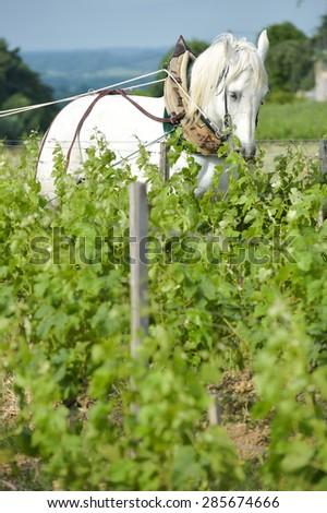 Labour Vineyard with a draft white horse-Saint-Emilion-France - stock photo
