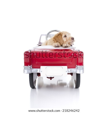 Labradoodle in red car white background