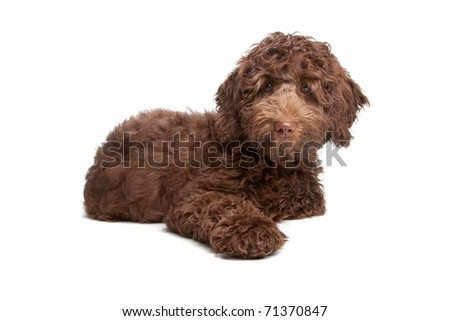 Labradoodle puppy - stock photo