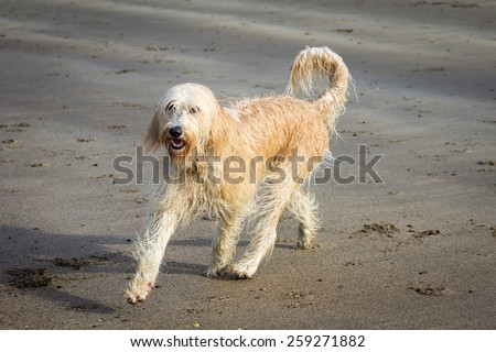 Labradoodle Running on the Beach - stock photo
