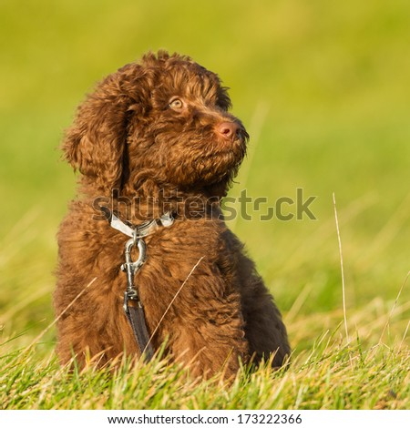 Labradoodle young - stock photo