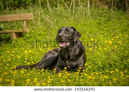Black Russian Terrier Brt Stalins Dog Stock Photo ...