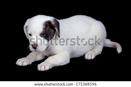 Labrador and bulldog mix puppy on a black background