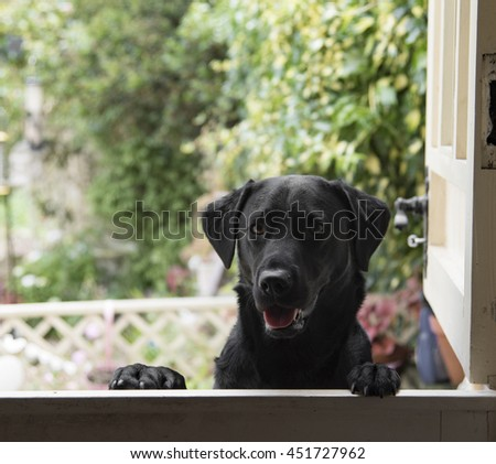 Labrador at the door - stock photo