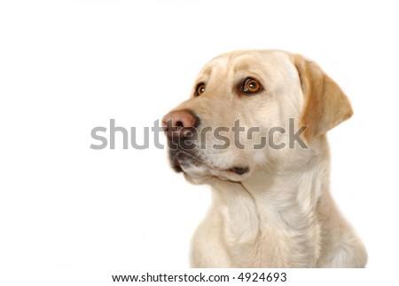 labrador bust, white background - stock photo