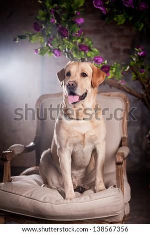 labrador dog in a chair - stock photo