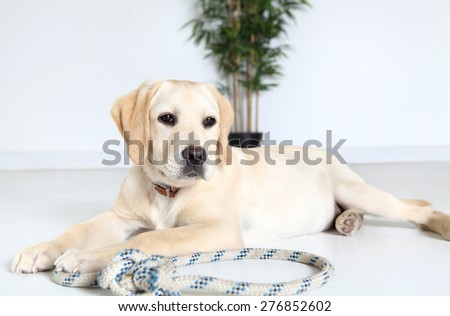 Labrador dog laying down on floor  - stock photo