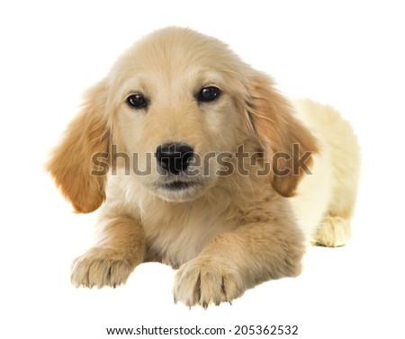 labrador dog on a white background - stock photo