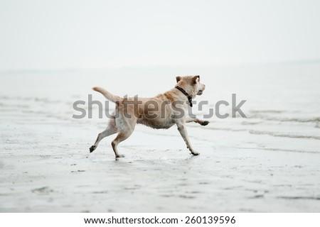 labrador dog runs to the water - stock photo