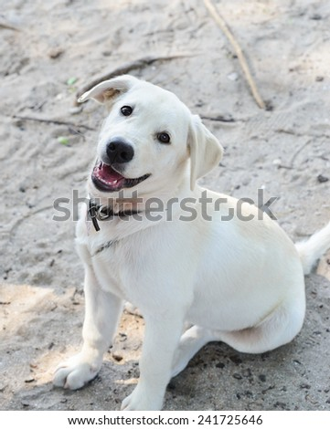 Labrador dog smile - stock photo