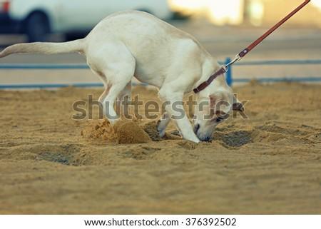 Labrador dog walking on a leash, unfocused background - stock photo