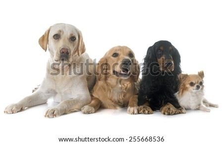 labrador, golden retriever, chihuahua and cocker spaniel in front of white background - stock photo