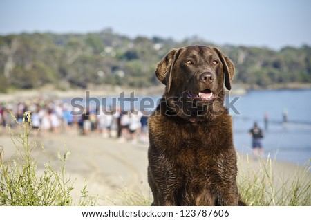 Labrador guard - a watchful brown labrador watches carefully as people gather at beach