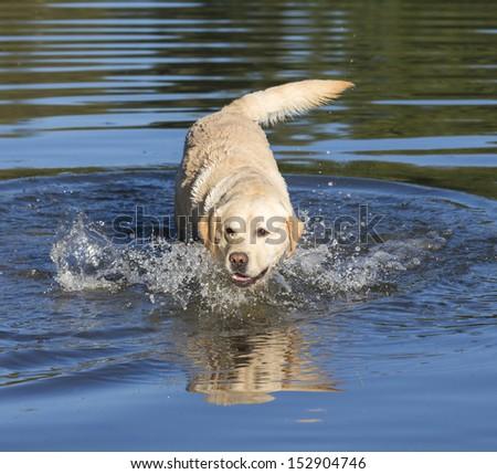 labrador in lake - stock photo