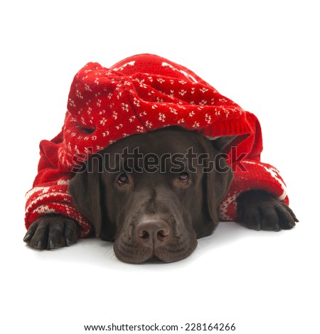 Labrador in red sweater - stock photo