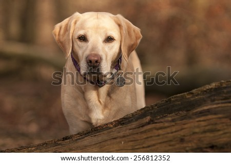 Labrador in the forest - stock photo