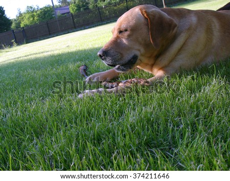 labrador in the garden - stock photo