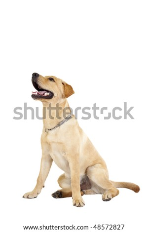 Labrador lying down and panting in front of a white background - stock photo
