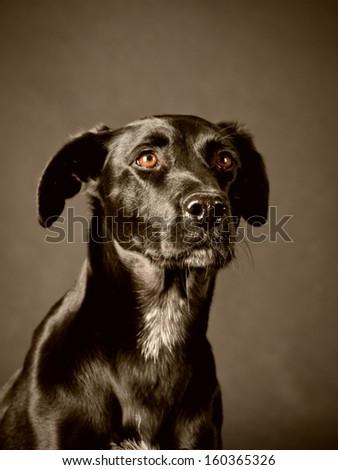 Labrador Mixed Breeds