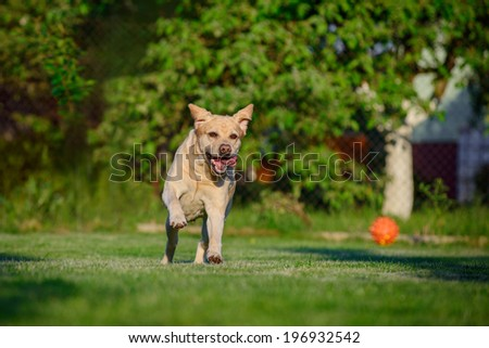 labrador on a green lawn - stock photo