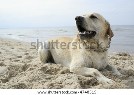 labrador on the beach