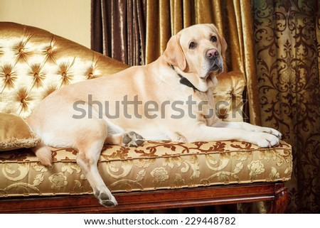 Labrador on the couch - stock photo