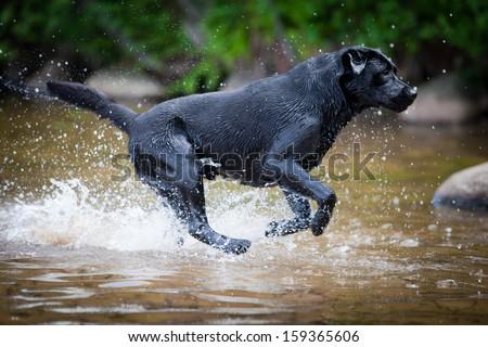 labrador outdoors - stock photo