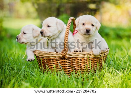 labrador puppies in a basket - stock photo