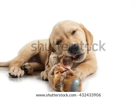 Labrador puppy chewing a large bone