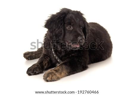 labrador puppy lying on a white floor - stock photo