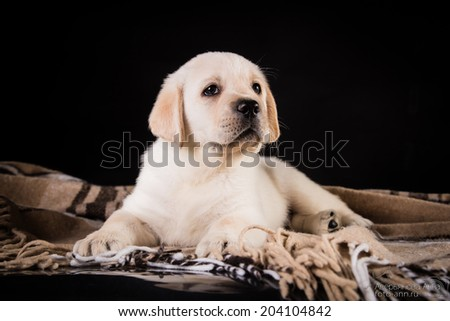 labrador puppy on a colored background - stock photo