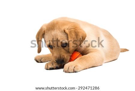labrador puppy on a white background - stock photo