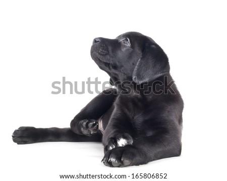 labrador puppy on a white background in studio - stock photo
