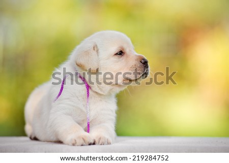labrador puppy outdoors - stock photo