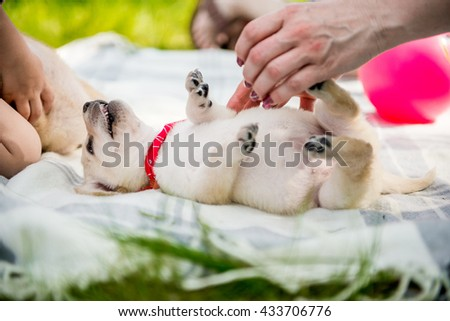 labrador puppy plays. Seven week old golden retriever puppy outdoors on a sunny day.