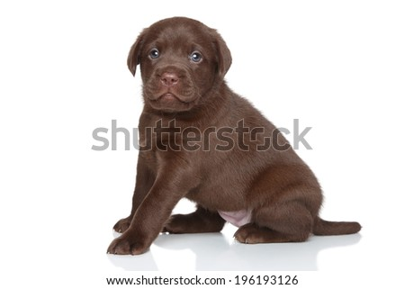 Labrador puppy posing on white background