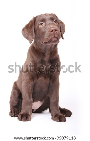 labrador puppy sitting